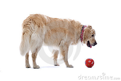 Golden Retriever dog with ball