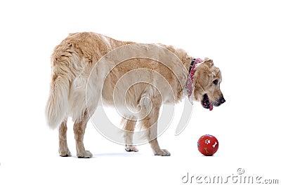 Golden Retriever dog with ball