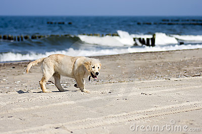 Golden retriever dog on beach