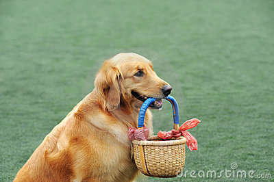 Golden retriever dog holding basket
