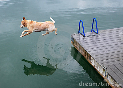 Golden Retriever Dog Jumps off Dock