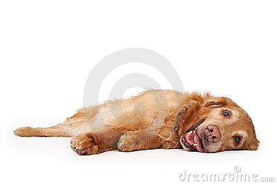 Golden Retriever Dog Laying Down