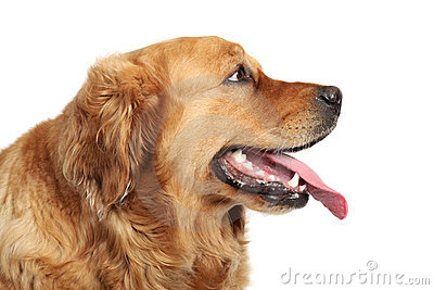 Golden Retriever dog portrait. Side view