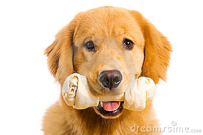 Golden Retriever Dog with a Rawhide Chew Bone