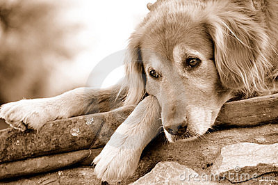Golden Retriever Dog Resting