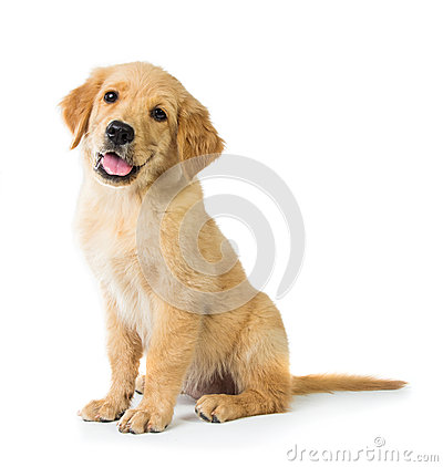 Free Golden Retriever Dog Sitting On The Floor, Isolated On White Bac Stock Images - 52178384