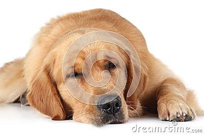 Golden Retriever dog sleep on the floor