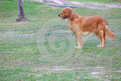 Golden retriever dog standing on garden field