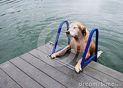 Golden Retriever Dog Strains to Climb Ladder