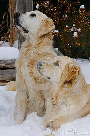 Free Golden Retriever Dogs In Snow Stock Images - 28175974