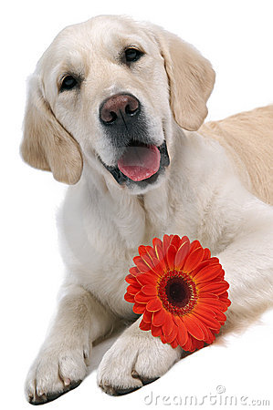 Golden retriever with flower