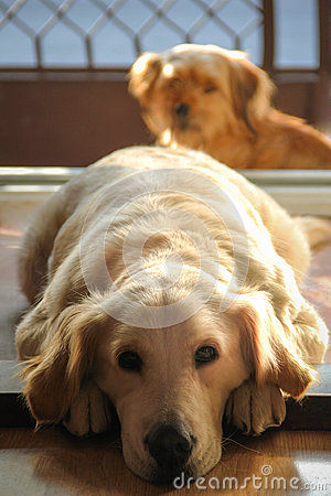 Golden Retriever and a friend