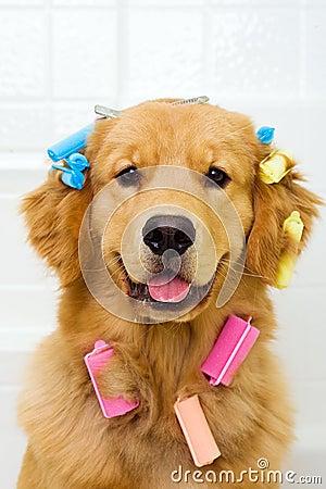 Golden retriever pet hair