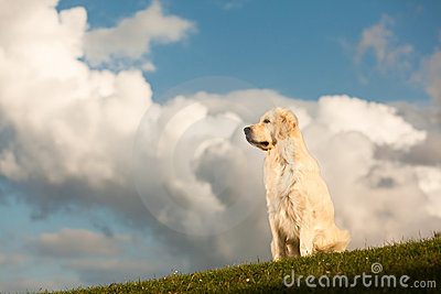 Golden Retriever with head in the clouds