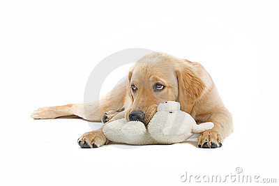 Golden retriever and its toy