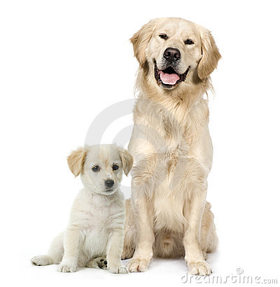 Golden Retriever and a Labrador puppy sitting