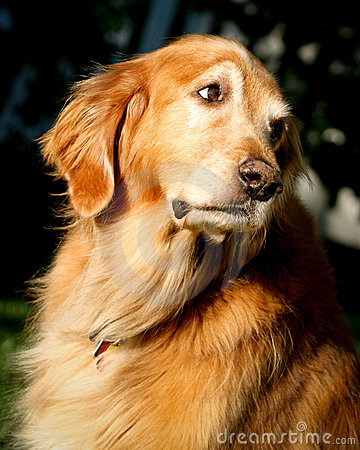 Golden Retriever looking