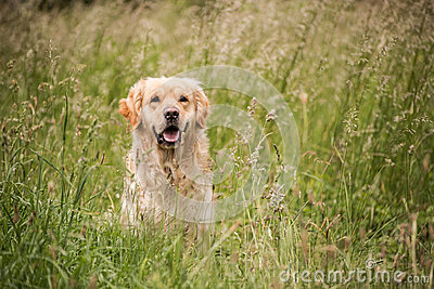 Golden retriever in the meadow