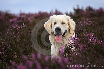 Golden Retriever in Moor