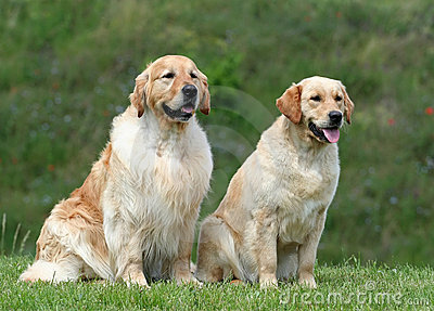 Golden retriever pair