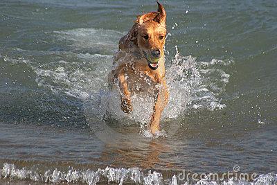 Golden Retriever Plays In Water