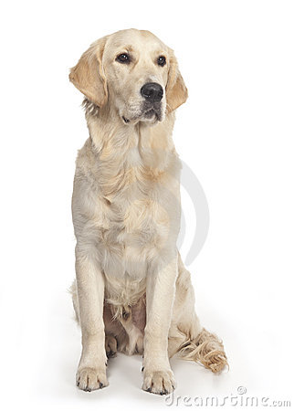 Golden Retriever posing in a studio