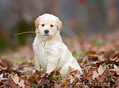 Golden Retriever Pup.