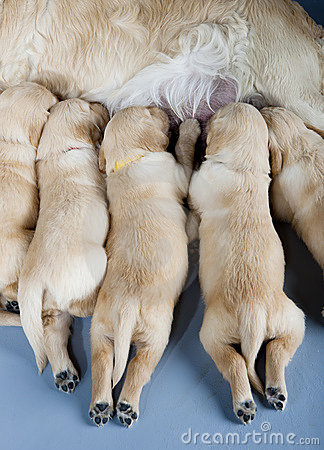 Golden retriever with puppies