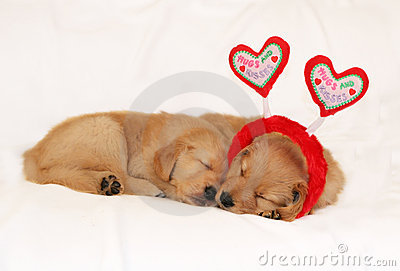 Golden retriever puppies sleeping wearing headband