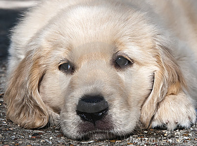 Golden Retriever Puppy Stock Images - Image: 12760044