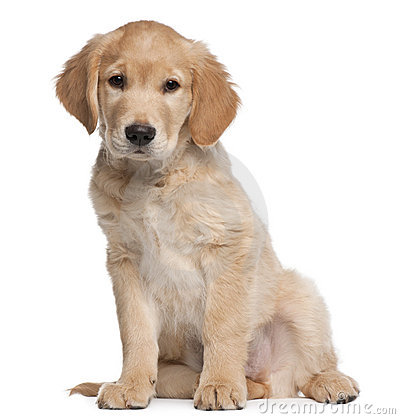 Golden Retriever puppy, 2 months old, sitting
