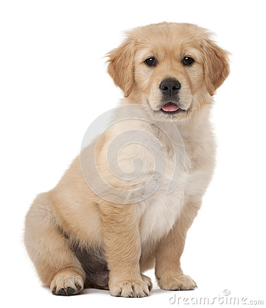 Free Golden Retriever Puppy, 2 Months Old, Sitting Royalty Free Stock Image - 25301356