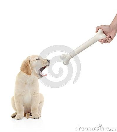 Free Golden Retriever Puppy Royalty Free Stock Photo - 3502165