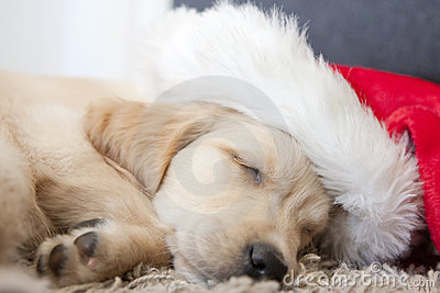 Golden retriever puppy 6 weeks old with santa hat