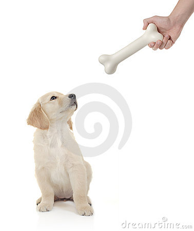 Free Golden Retriever Puppy About To Bite A Bone Stock Image - 4072431