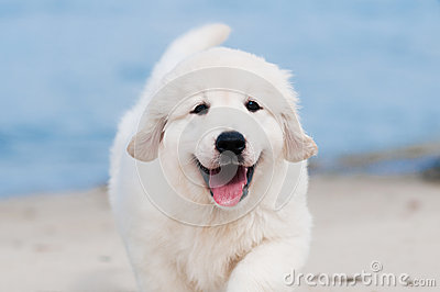 Golden retriever puppy on the beach