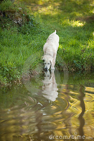 Free Golden Retriever Puppy Drinking From Lake Royalty Free Stock Photos - 11419448