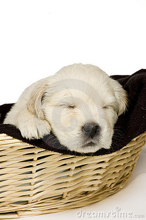 Golden retriever puppy sleeping in a basket