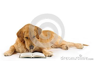 Golden retriever read a book