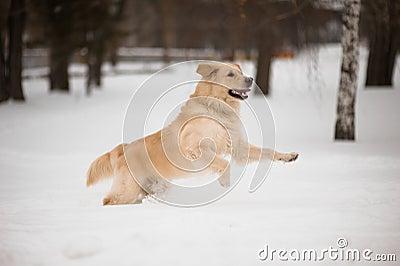 Golden retriever running on the snow.