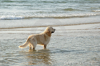 Golden retriever in the sea