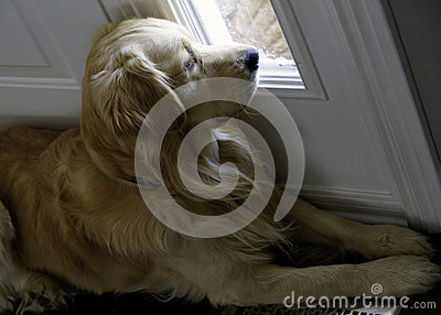 Golden Retriever - Separation Anxiety