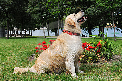 Golden retriever sits in a park