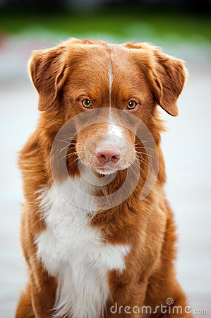 Free Golden Retriever Toller Dog Looks Into The Camera Royalty Free Stock Photography - 27293937