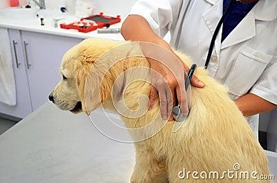 Vet examining cute puppy dog