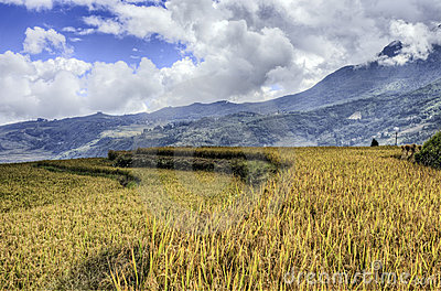 Golden Rice Fields in China
