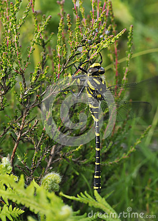 Free Golden-ringed Dragonfly Stock Photos - 42312243