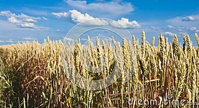 Golden, ripe wheat