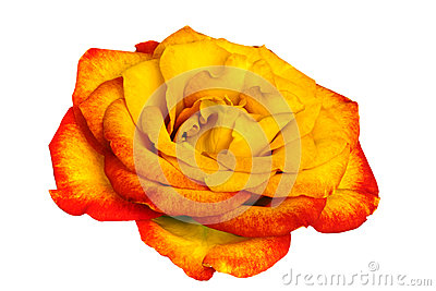 Golden Rose over White