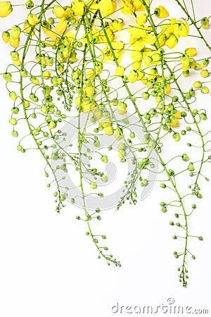 Free Golden Shower Flower Stock Photos - 13775513
